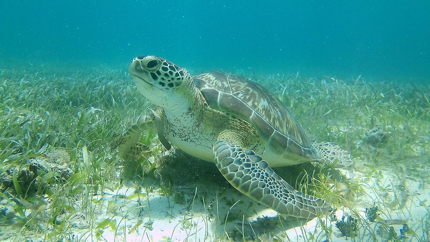 Snorkel with sea Turtles - Marine Species - Snorkel Tours - Anda De Wata Tours - Belize