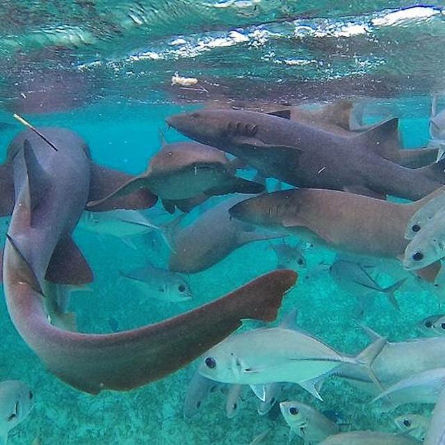 Sharks - Marine Species - Snorkel Tours - Anda De Wata Tours - Belize