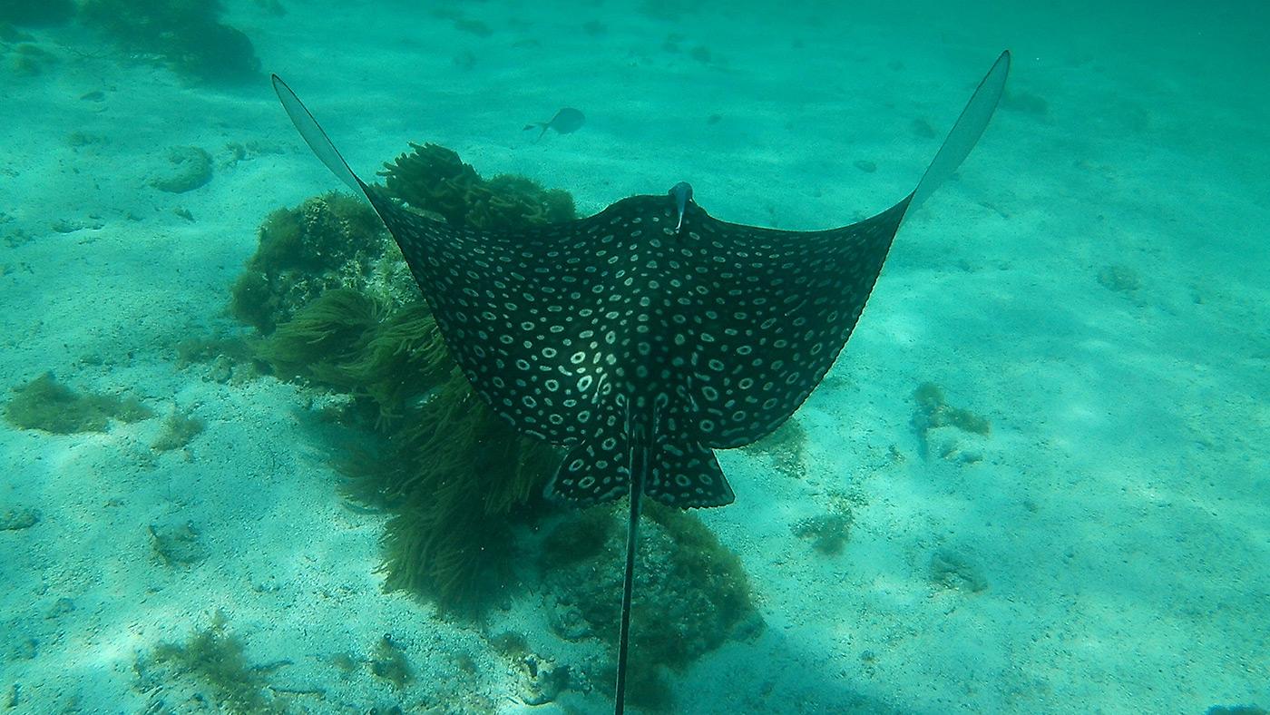 Stingray - Sting Ray Alley - Marine Species - Snorkel Tours - Anda De Wata Tours - Belize