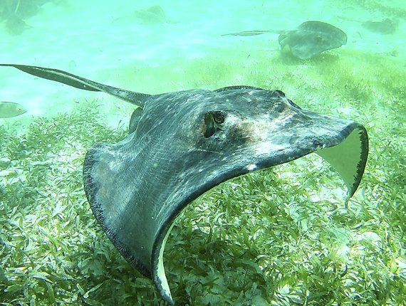 Hol Chan Marine Reserve - Snorkel Tours - Anda De Wata - Snorkel Sting Ray Alley - Coral Gardens - Barrier Reef - Ambergris Caye island