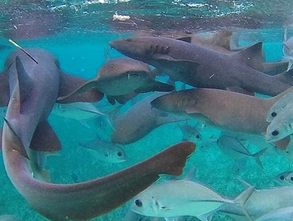 Hol Chan Marine Reserve - Snorkel Tours - Anda De Wata - Snorkel with Sharks and Sting Rays