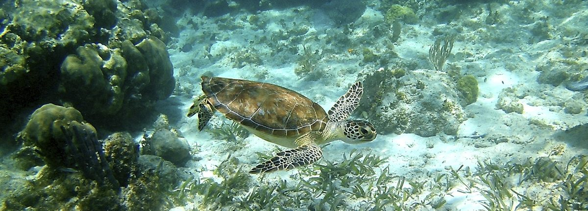Hol Chan Marine Reserve - Snorkel Tours - Anda De Wata - Snorkel with sea Turtles - Coral Gardens - Barrier Reef - Ambergris Caye island